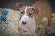 Magnifiques chiots Bull Terrier