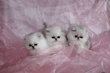 Superbes chatons persans