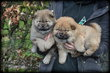 Chiots Chow Chow