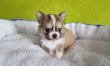 Adorable Chiot chihuahua bicolor poil long