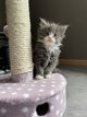 Chatons main coon
