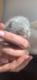 Magnifiques chatons British Shorthair