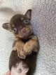 Chiot Chihuahua mâle ( Chocolat et Tan )