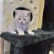 Chaton  british shorthair lilac