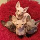 Adorable Chaton Sphynx