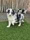 Chiots Border collie (noire-blanc, parents...