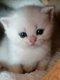 Femelle british shorthair