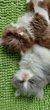 4 magnifiques chatons scottish ou highland