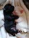 Magnifique bébé chihuahua noir à poils courts...