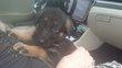 Magnifique chiot berger allemand