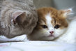Magnifiques chatons Highland straight (British...