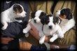 Chiots Boerenfox Terrier
