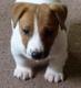 Jack Russell Terriers reutjes en teefjes - mâles...