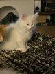 5 magnifiques chatons blancs