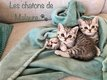 Chatons British Straight Silver Tabby