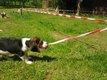 Chiots beagle pure race élevés en famille