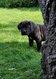 Superbes chiots cane corso avec pedigree