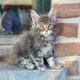 Superbes Chatons Main coon