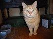 Zen, Très beau chat roux