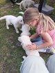 Chiots golden retriever nés à la ferme parents...