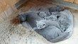 Magnifiques chatons Chartreux disponibles...