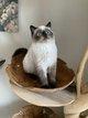💙Magnifiques chatons Exotic shorthair...