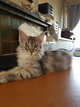 Chatons maine coon tres grand gabarit disponible...