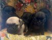Chiot pure race carlin à réserver (pedigree)