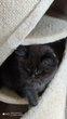 Chatons scottish  Longhair black smoke magnifiques