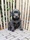 Chiots Labrador noire et chocolate (parents...