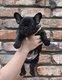 Chiot bulldog français pedigree saint hubert
