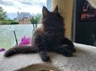 Superbe Chaton maine-coon
