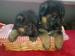 4 chiots berger allemand pedigree disponible le 1...