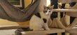 Magnifiques chatons maine coon à réserver