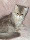 Manifique chaton persan disponible