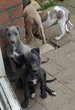 Chiot Whippet Levrier
