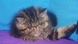 Magnifique chatons persans et exotic