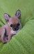 Très petite femelle chiot chihuahua fauve.
