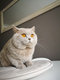 'British shorthair lilac avec beau pedigree
