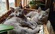 Chartreux - 2 chatons mâles  disponibles et...