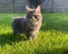 Magnifique chaton mâle Kurilian Bobtail