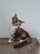 Superbe Maine Coon