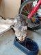 Whisker, très beau chat mâle gris tigré