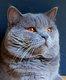 Magnifique British Shorthair mâle bleu - Groupe...
