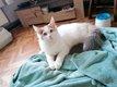 Magnifique chatonne Maine Coon croisée