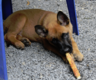 Disponible 2 chiots berger malinois male