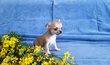 Superbe petit mâle crème chiot chihuahua poil...