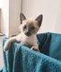 Siamois chatons