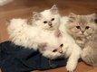 😺 7 Magnifiques chatons british longhair