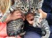 6 chatons tigrés